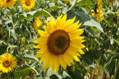 Подсолнечник или солнцецвет стоковые изображения