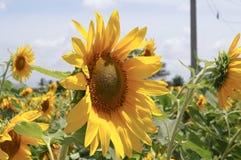 Подсолнечник или солнцецвет стоковое фото