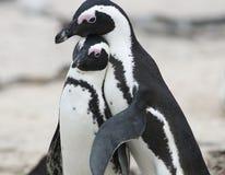 подходящий пингвин Стоковое Изображение