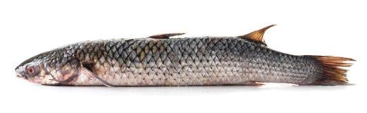 Подшипник сырых рыб Стоковая Фотография