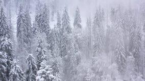 Подъем выше coniferous лес покрытый со снегом сток-видео