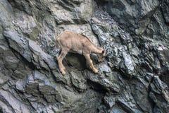 Подъем козы горы на утесах Стоковые Фотографии RF