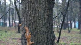 Подъем красной белки 2 на 3 в лесе - замедленном движении сток-видео