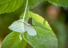 Подёнка, мужское danica Ephemera, на лист стоковое изображение