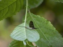 Подёнка, мужское danica Ephemera, на лист стоковая фотография