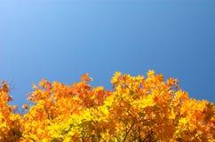 под кленом листьев Стоковые Фото