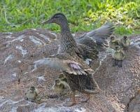 Под крыльями мамы стоковое фото