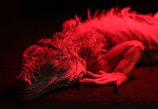 под светильником игуаны ультракрасным Стоковое Изображение RF