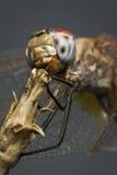 под dragonfly Стоковая Фотография RF