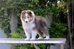 поезд щенка, который нужно вывесить на таблицу холить Стоковые Фотографии RF