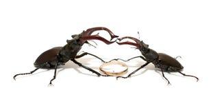 Поединок 2 жуков рогача Стоковая Фотография RF