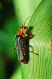 Пожарный жука сфотографировал близко вверх на зеленых лист Стоковое Изображение