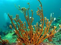 пожар водолаза коралла Стоковые Фото