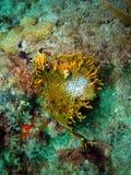 пожар коралла Стоковая Фотография RF