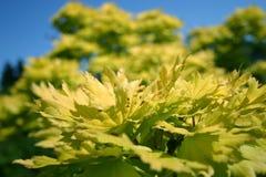 Пожелтейте дерево листьев Стоковая Фотография