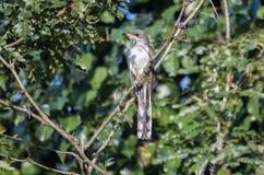 Пожелтейте представленную счет птицу кукушки, Walton County, Georgia США стоковая фотография