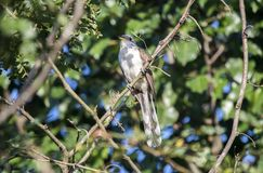Пожелтейте представленную счет птицу кукушки, Walton County, Georgia США стоковое фото