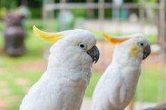 Пожелтейте crested какаду или белый попугая стоя на дереве в парке Стоковые Фотографии RF