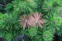 2 пожелтели елевые хворостины среди конца-вверх зеленых цветов стоковая фотография rf