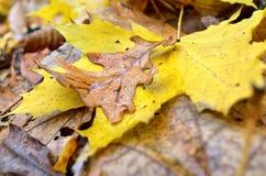 Пожелтетые кленовые листы в конце леса осени вверх Стоковые Изображения RF