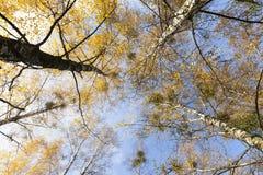 Пожелтетые листья березы Стоковое Изображение RF