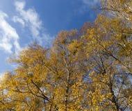 Пожелтетые листья березы Стоковые Изображения RF