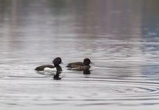Пожененная пара crested чернокожих Стоковое Фото