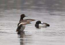 Пожененная пара crested чернокожих Стоковые Фото