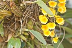 Пожелтейте орхидею Стоковые Изображения