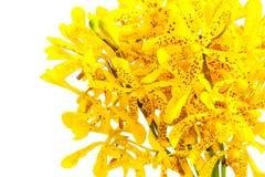 Пожелтейте орхидею Стоковое Фото
