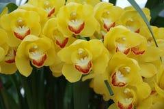 Пожелтейте орхидею Стоковая Фотография