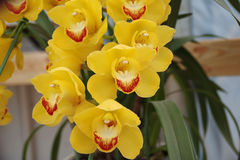 Пожелтейте орхидею Стоковые Фотографии RF