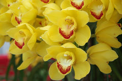 Пожелтейте орхидею Стоковая Фотография RF