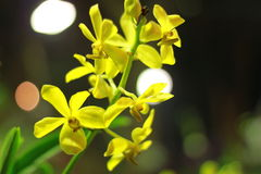 Пожелтейте орхидею Стоковое фото RF