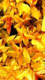 Пожелтейте предпосылку листьев Стоковое Изображение RF