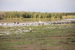 Пожелтейте представленного счет аиста в заболоченных местах, озере Manyara, Танзании Стоковое Изображение RF