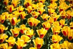 Пожелтейте с красными тюльпанами в парке Keukenhof, цветочном саде, Голландии Стоковые Изображения