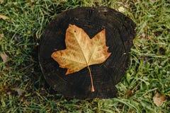 Пожелтейте упаденные лист на сухом пне дерева Стоковое Изображение