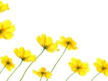 Пожелтейте цветок космоса изолированный на белой предпосылке Стоковая Фотография RF