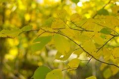 Пожелтетые листья деревьев Стоковая Фотография