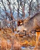 Пожилой олень самца оленя осла делает паузу для того чтобы обнюхать траву пилы стоковые изображения