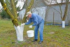 Пожилой садовник отбеливает хобот яблони Весна работает в саде стоковое фото