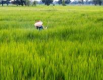 Пожилой человек распыляет удобрение в полях риса Стоковые Фото