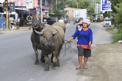 Пожилая дама водит буйвола через дорогу Balige Стоковые Фотографии RF