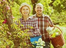 Пожилой смеясь над садовничать приниманнсяый за парами Стоковая Фотография RF