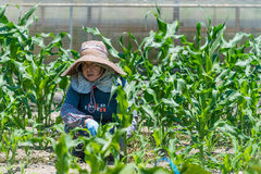 Пожилой японский садовничать женщины стоковая фотография