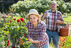 Пожилые пары садовничая в задворк Стоковая Фотография RF