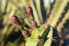Позвоночники кактуса в пустыне Египта Стоковые Изображения RF