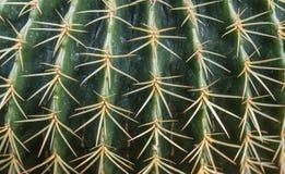 Позвоночники кактусов Стоковые Изображения
