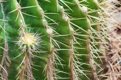 Позвоночники конца кактуса вверх стоковая фотография
